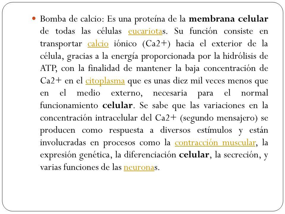 Bomba de calcio: Es una proteína de la membrana celular de todas las células eucariotas.