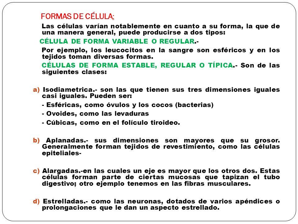 FORMAS DE CÉLULA: Las células varían notablemente en cuanto a su forma, la que de una manera general, puede producirse a dos tipos: