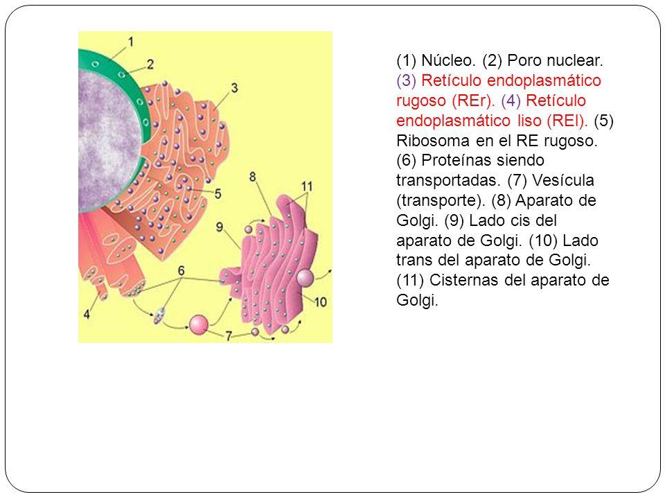 (1) Núcleo. (2) Poro nuclear. (3) Retículo endoplasmático rugoso (REr)