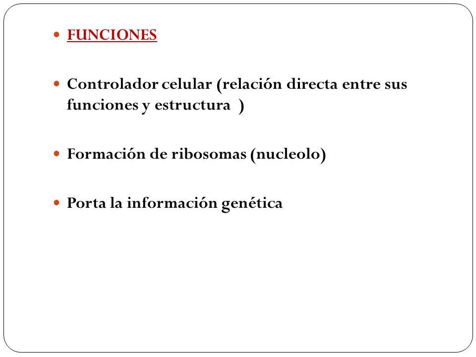 FUNCIONES Controlador celular (relación directa entre sus funciones y estructura ) Formación de ribosomas (nucleolo)
