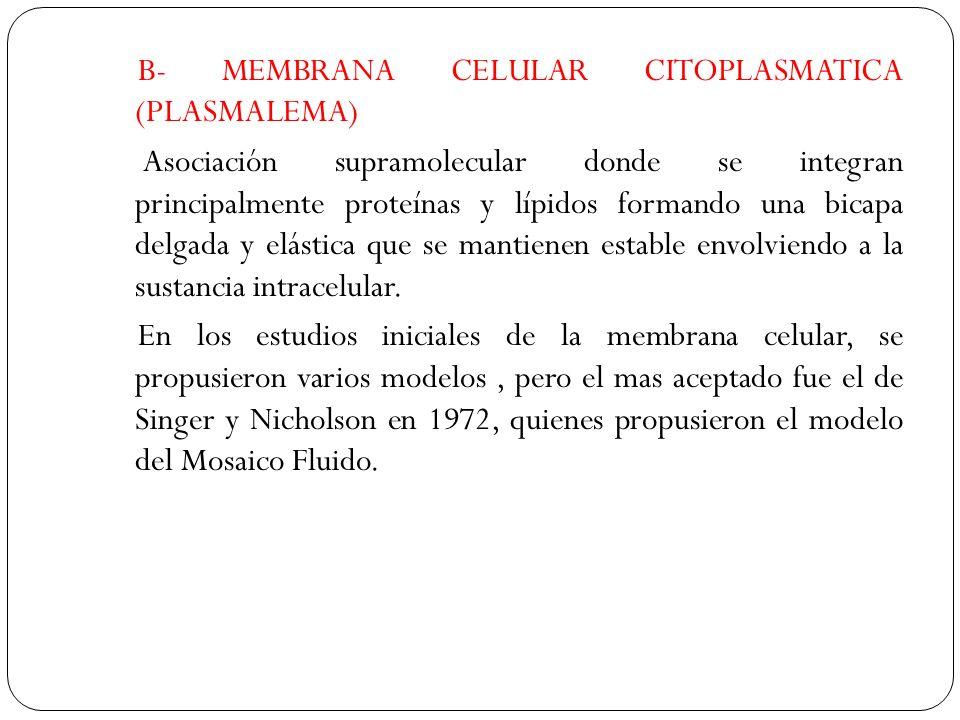B- MEMBRANA CELULAR CITOPLASMATICA (PLASMALEMA) Asociación supramolecular donde se integran principalmente proteínas y lípidos formando una bicapa delgada y elástica que se mantienen estable envolviendo a la sustancia intracelular.