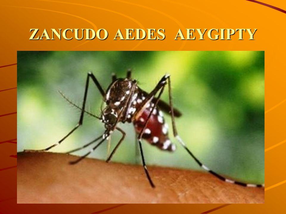 ZANCUDO AEDES AEYGIPTY