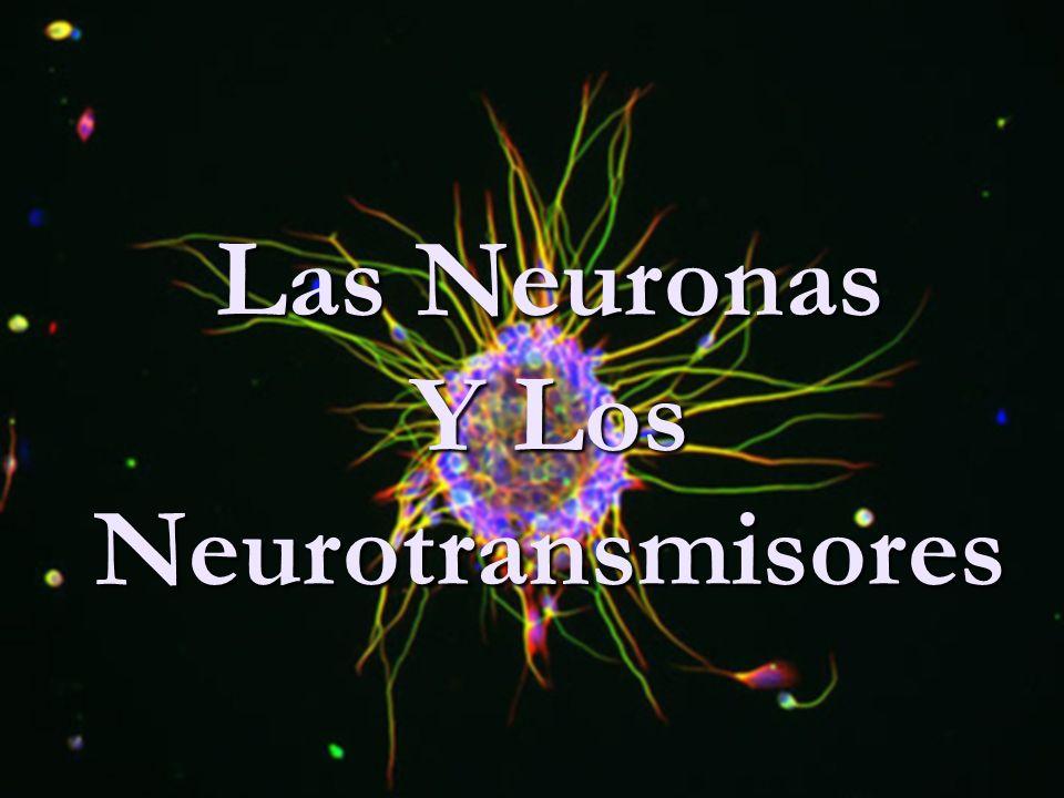 Y Los Neurotransmisores