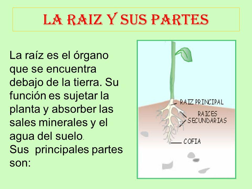 LA RAIZ Y SUS PARTES