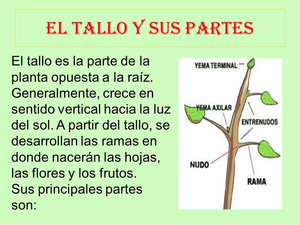 Partes de la planta ppt video online descargar for Plantas ornamentales y sus partes