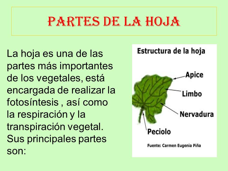 PARTES DE LA HOJA