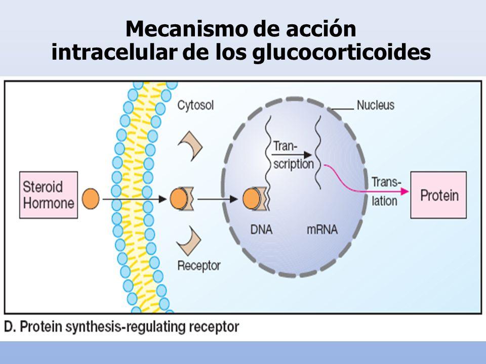 intracelular de los glucocorticoides