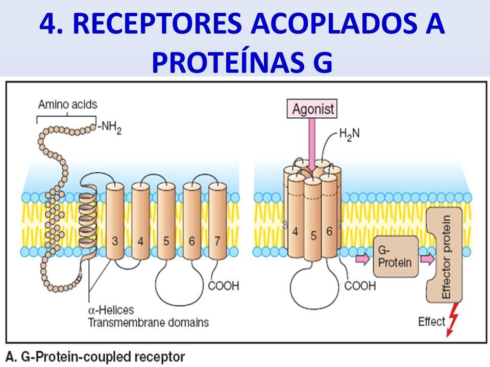 4. RECEPTORES ACOPLADOS A PROTEÍNAS G