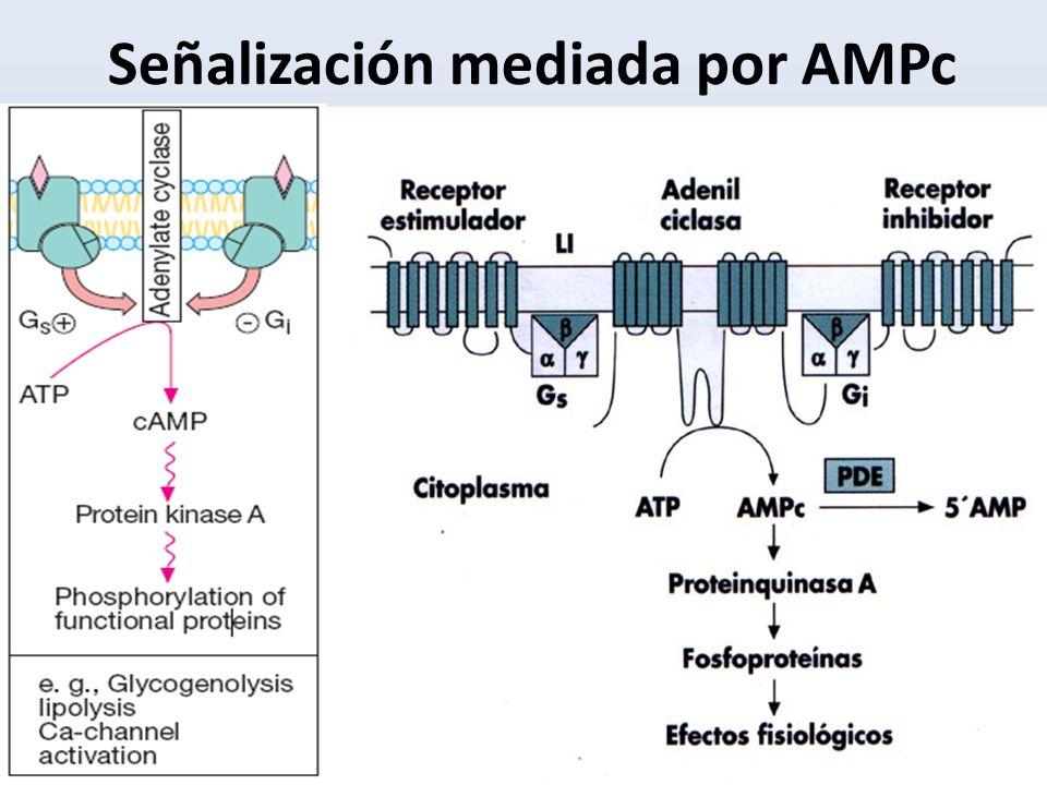 Señalización mediada por AMPc