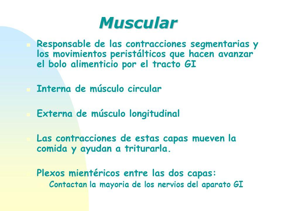 MuscularResponsable de las contracciones segmentarias y los movimientos peristálticos que hacen avanzar el bolo alimenticio por el tracto GI.