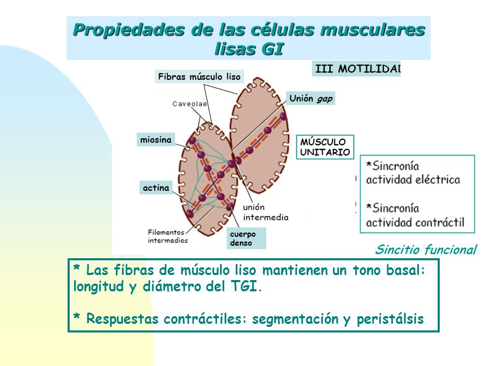 Propiedades de las células musculares lisas GI