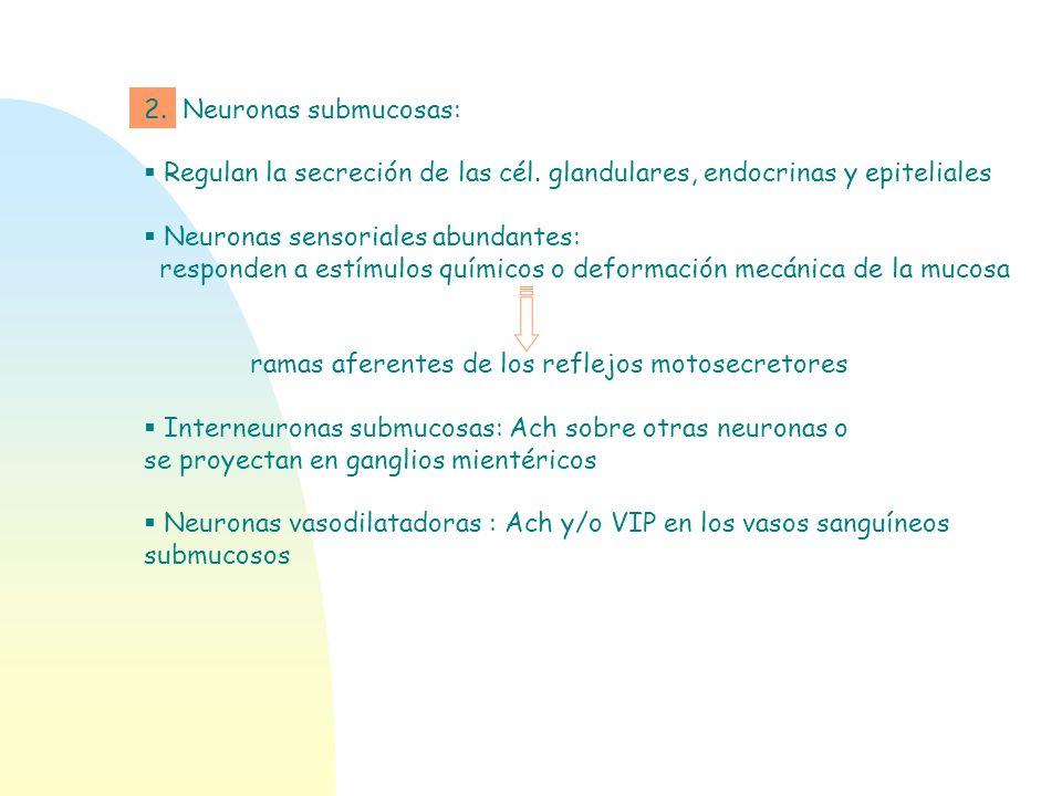 2. Neuronas submucosas:Regulan la secreción de las cél. glandulares, endocrinas y epiteliales. Neuronas sensoriales abundantes: