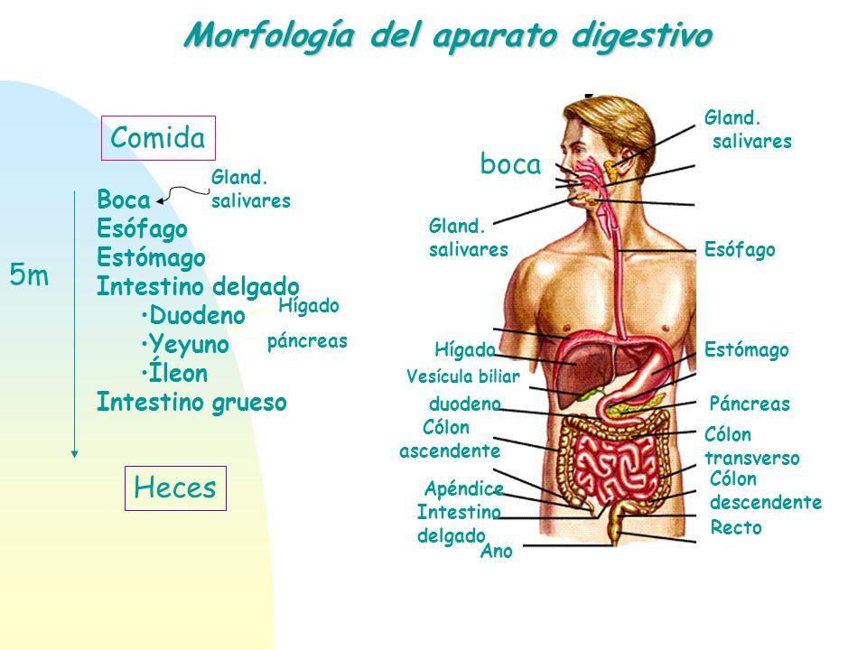 Morfología del aparato digestivo