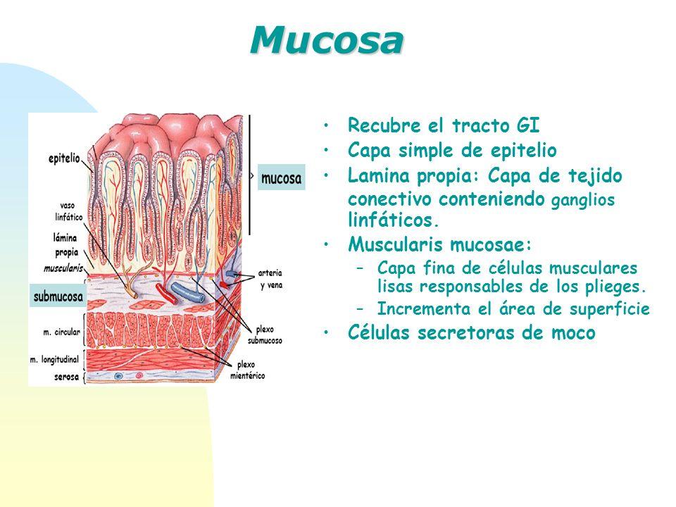 Mucosa Recubre el tracto GI Capa simple de epitelio