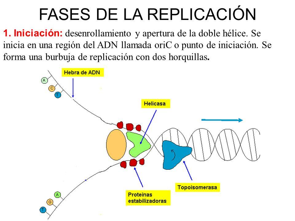 FASES DE LA REPLICACIÓN