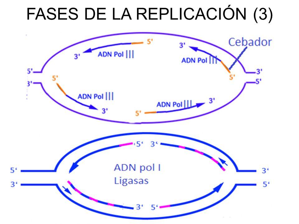 FASES DE LA REPLICACIÓN (3)