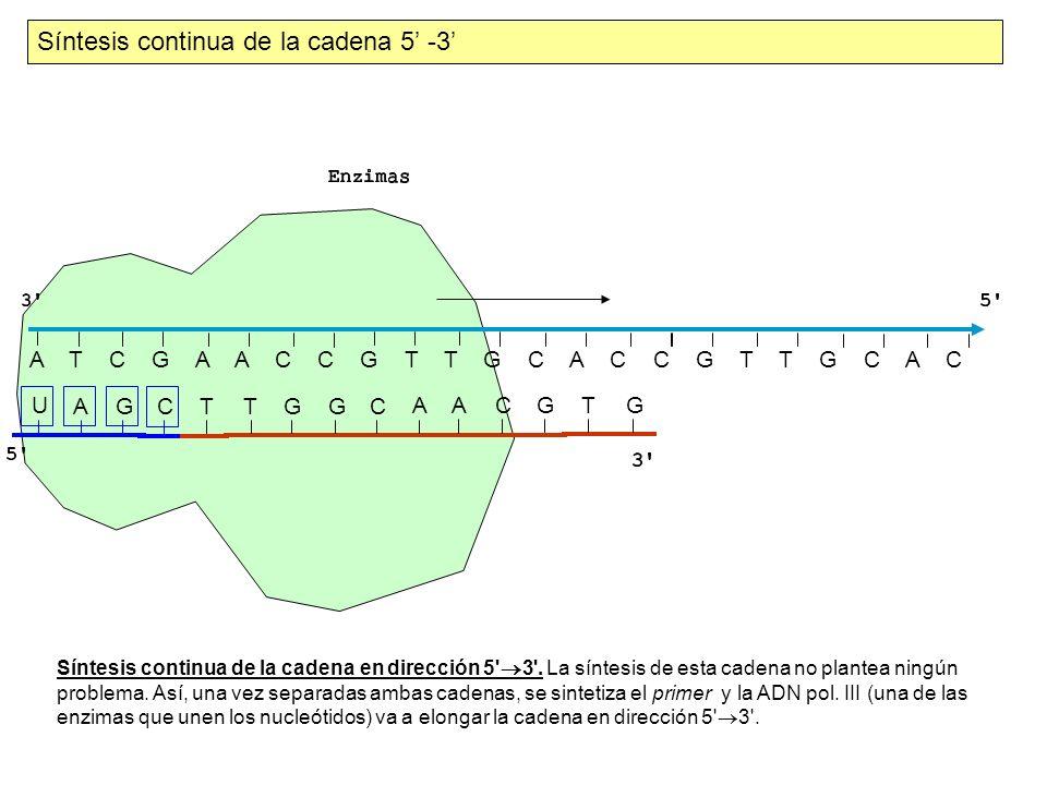 Síntesis continua de la cadena 5' -3'