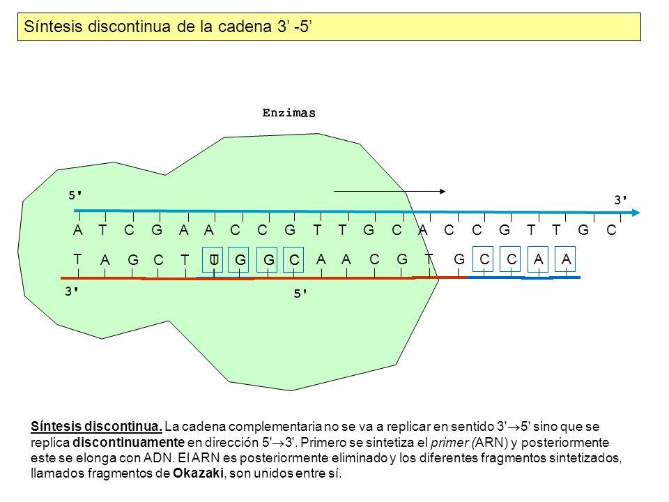 Síntesis discontinua de la cadena 3' -5'