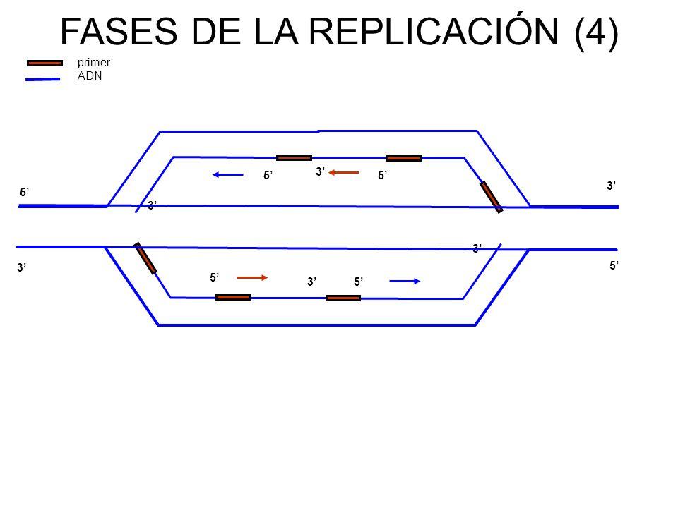 FASES DE LA REPLICACIÓN (4)