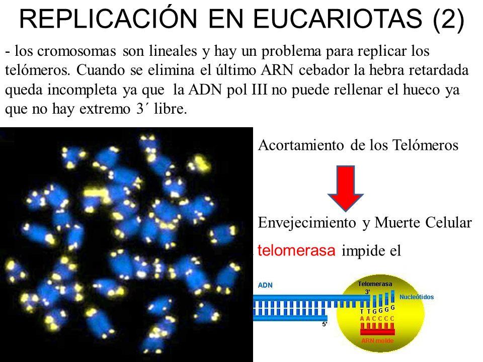 REPLICACIÓN EN EUCARIOTAS (2)