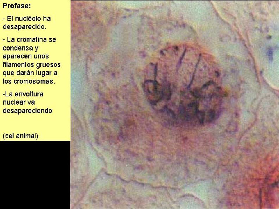 MITOSIS (3)