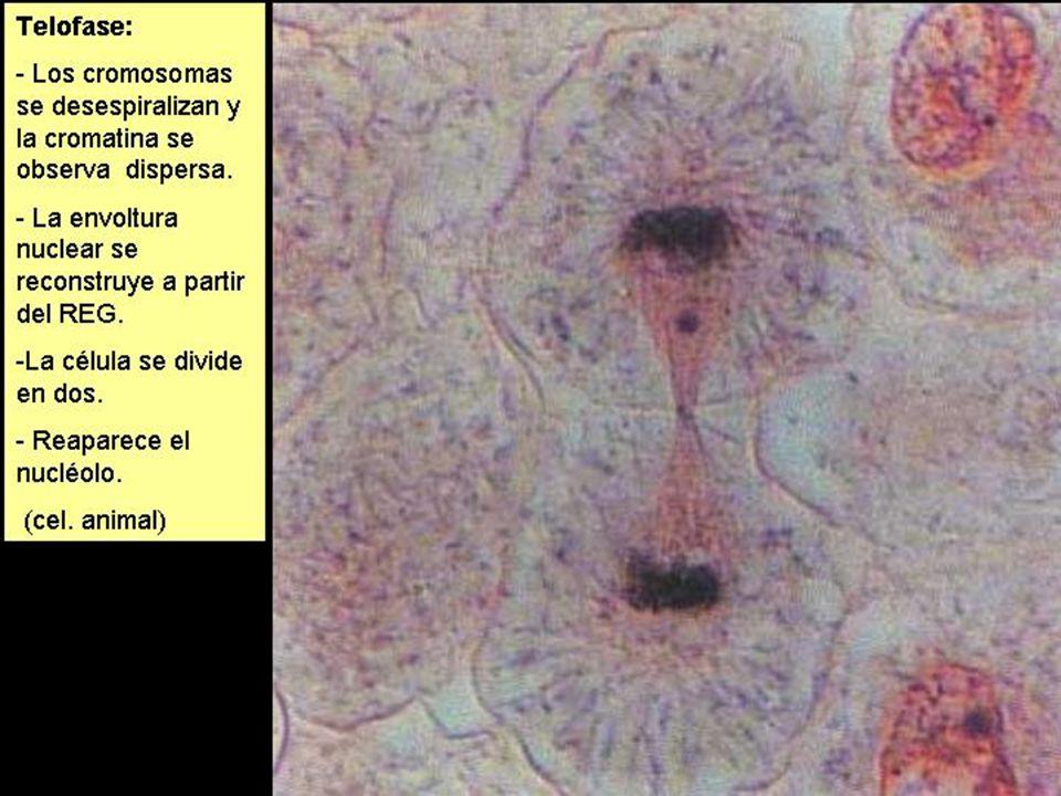 MITOSIS (6)