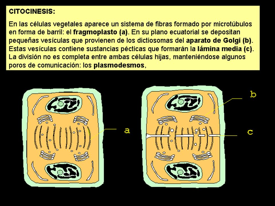 CITOCINESIS (3)