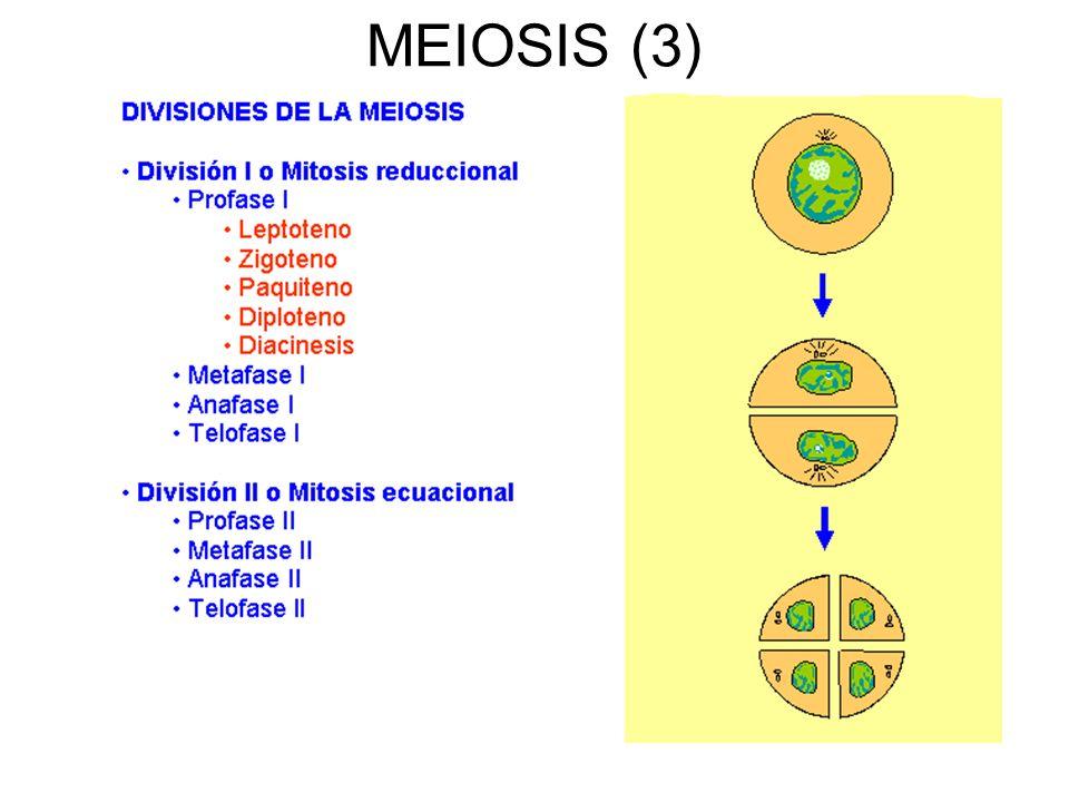MEIOSIS (3)