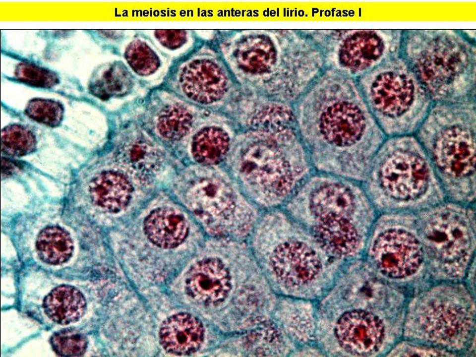 MEIOSIS I (2)