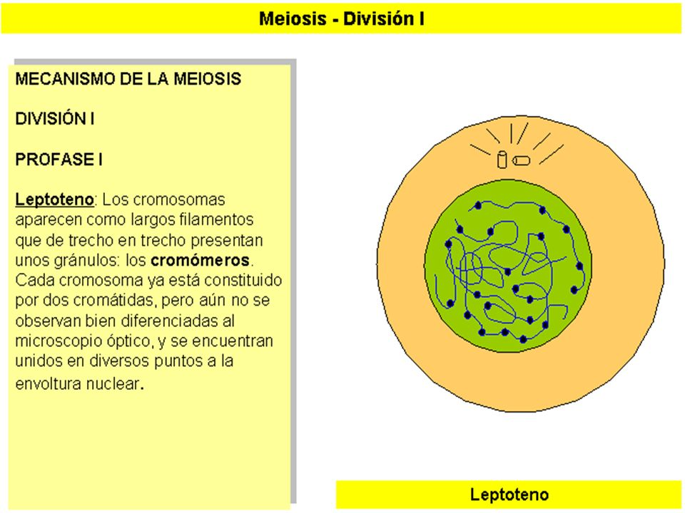 MEIOSIS I (3)