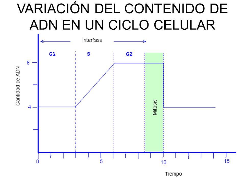 VARIACIÓN DEL CONTENIDO DE ADN EN UN CICLO CELULAR