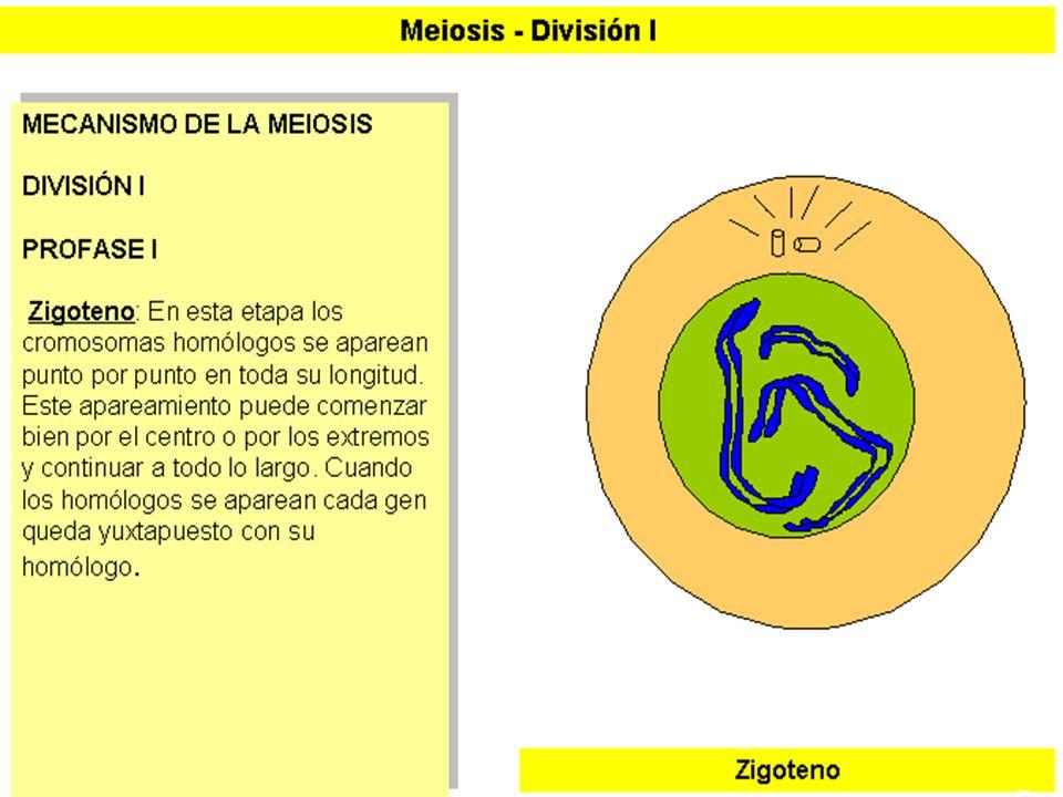 MEIOSIS I (4)
