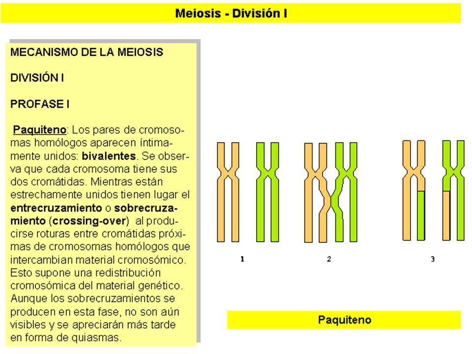 MEIOSIS I (5)