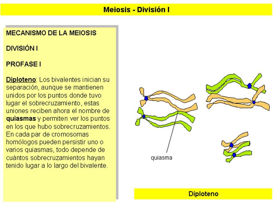MEIOSIS I (6)