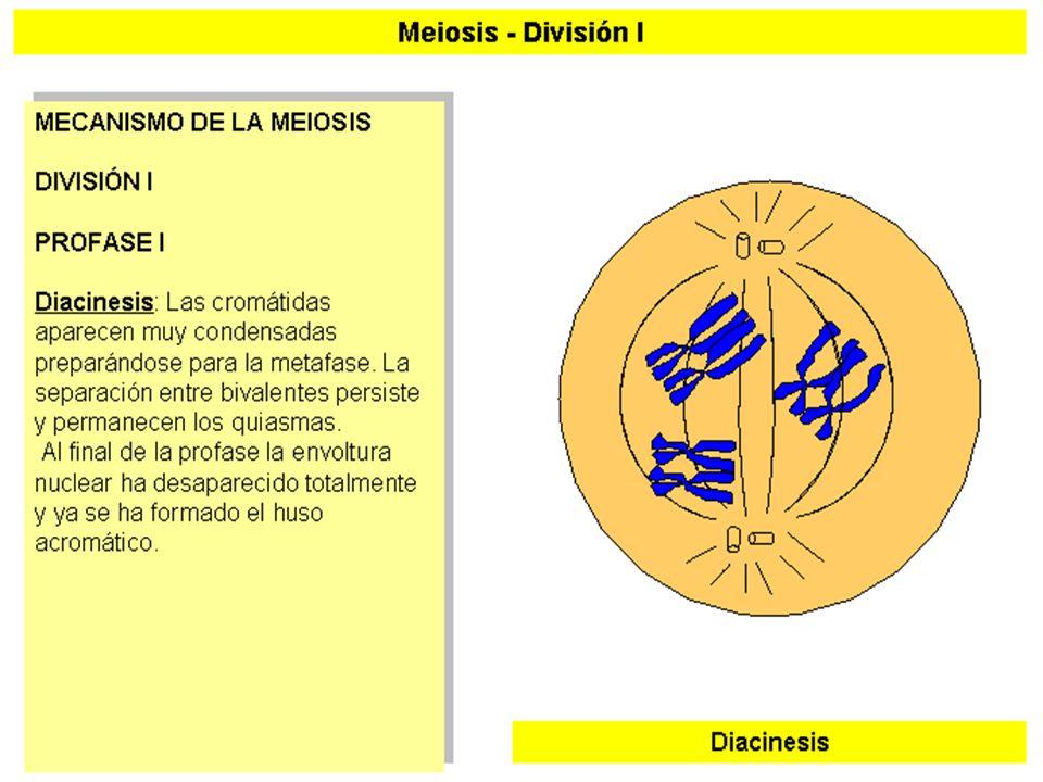 MEIOSIS I (7)