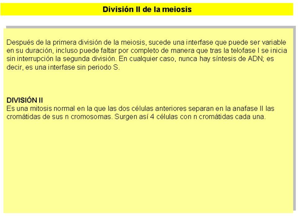 MEIOSIS II (2)