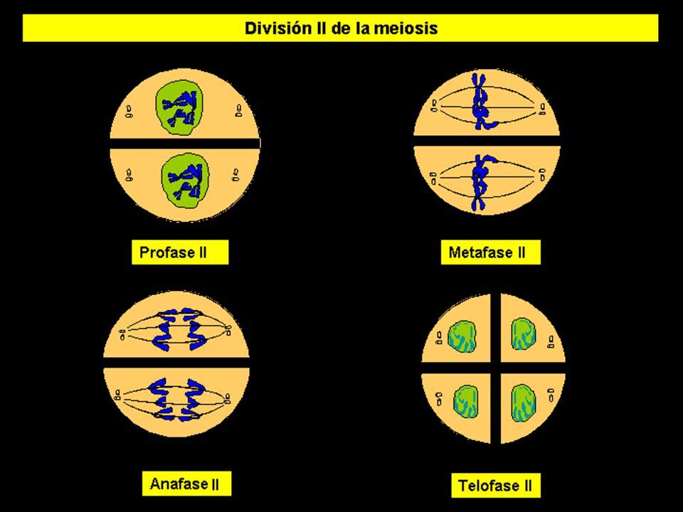 MEIOSIS II (3)