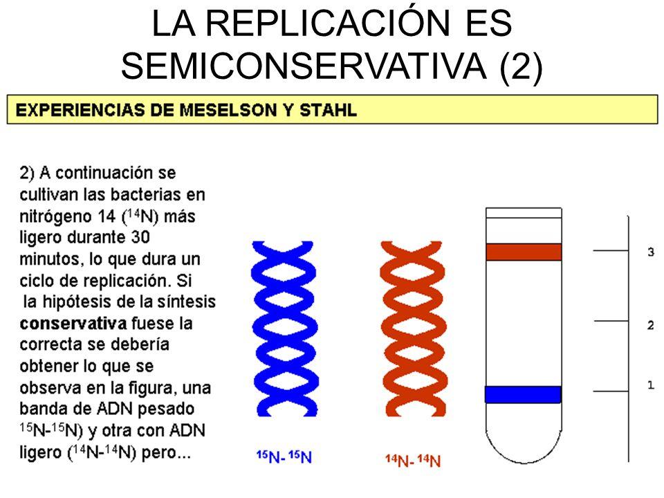 LA REPLICACIÓN ES SEMICONSERVATIVA (2)