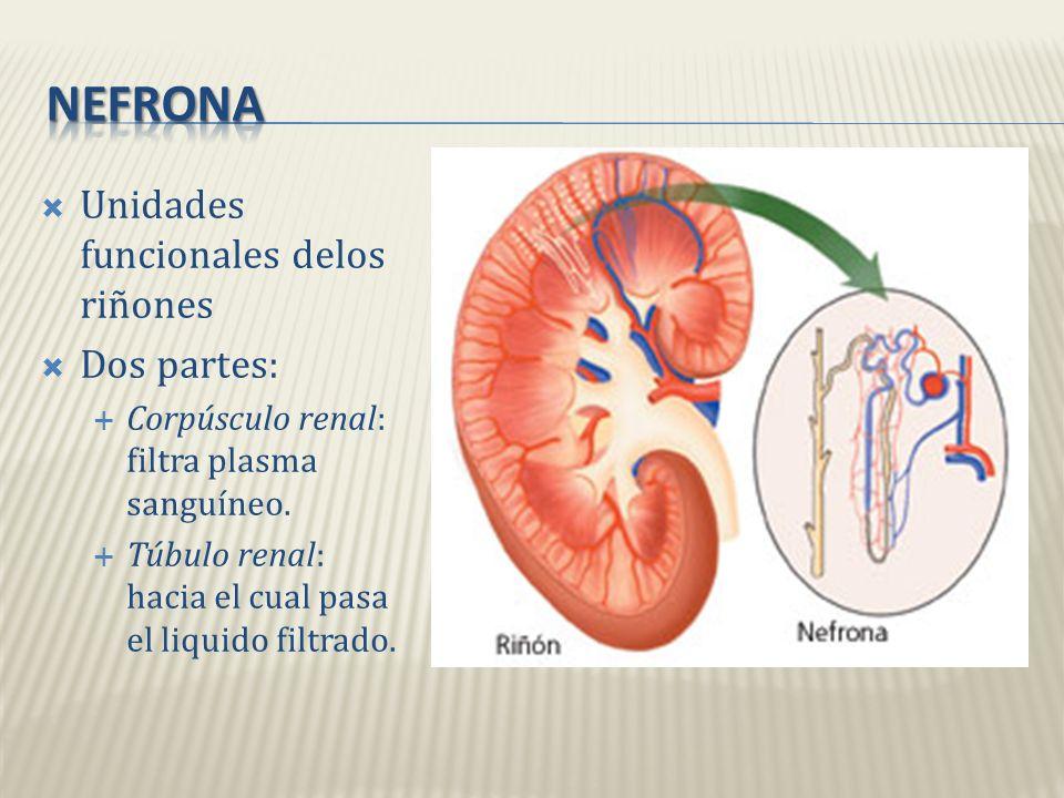 nefrona Unidades funcionales delos riñones Dos partes: