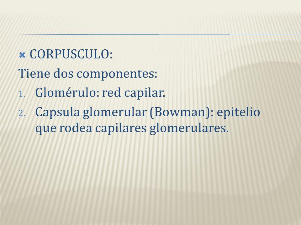 CORPUSCULO: Tiene dos componentes: Glomérulo: red capilar.