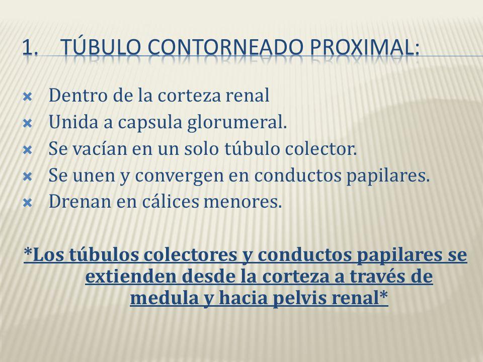 Túbulo contorneado proximal: