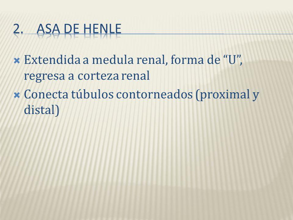 Asa de Henle Extendida a medula renal, forma de U , regresa a corteza renal.