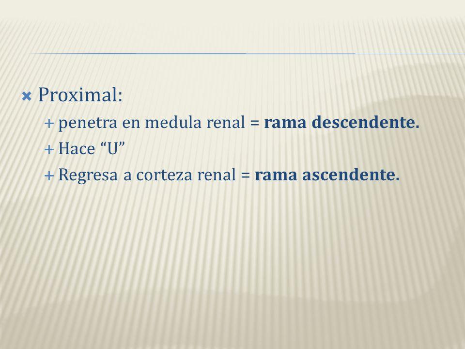 Proximal: penetra en medula renal = rama descendente. Hace U