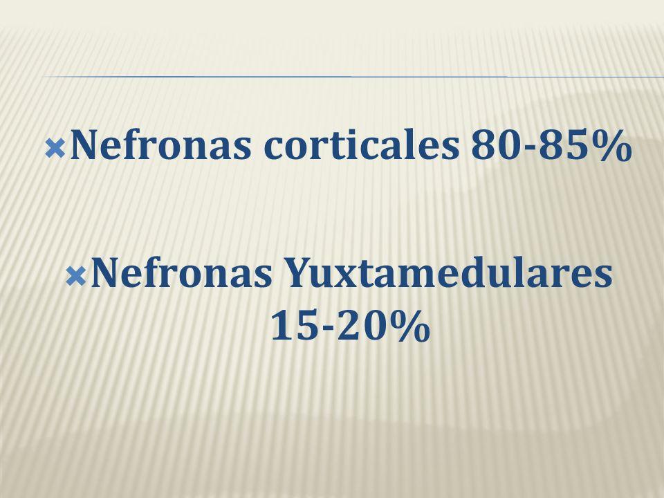 Nefronas corticales 80-85% Nefronas Yuxtamedulares 15-20%