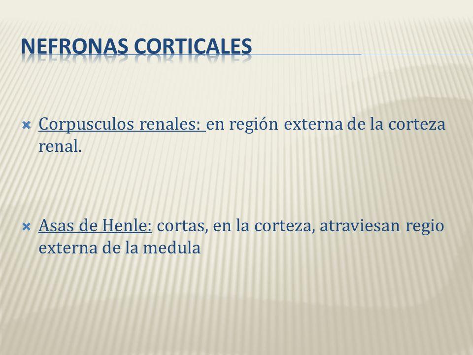 Nefronas corticales Corpusculos renales: en región externa de la corteza renal.