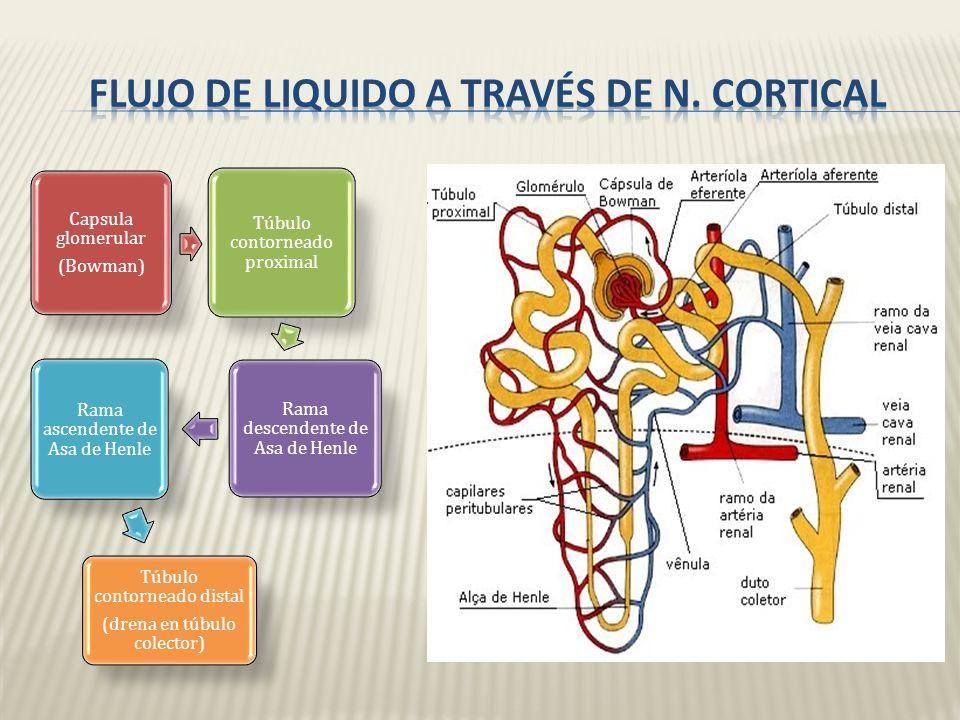Flujo de liquido a través de n. cortical
