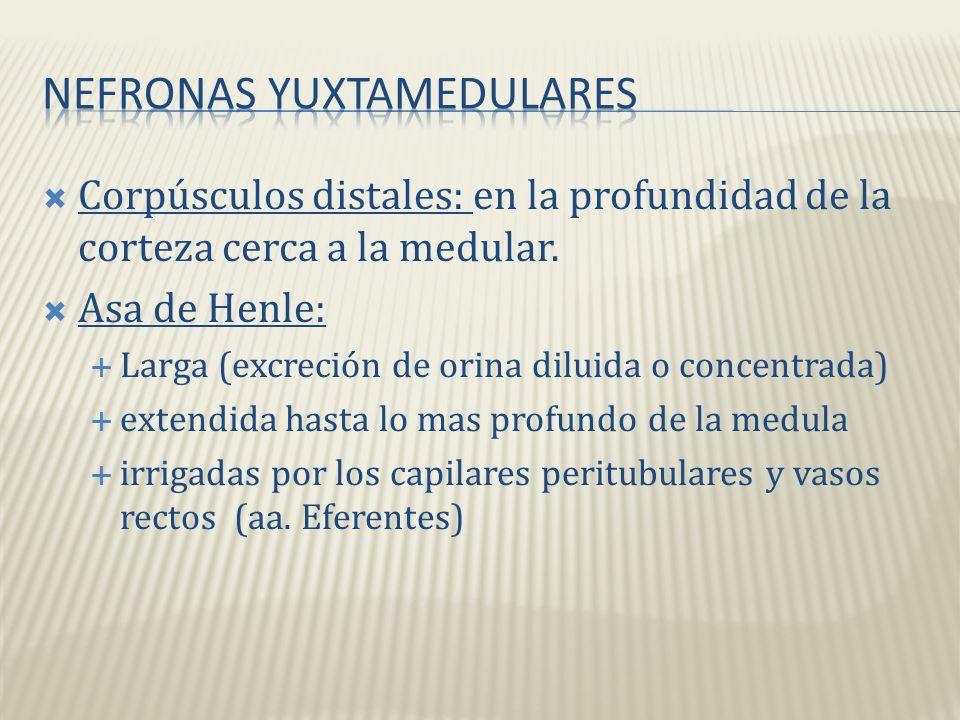 Nefronas Yuxtamedulares