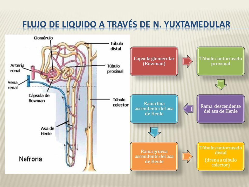 Flujo de liquido a través de n. yuxtamedular
