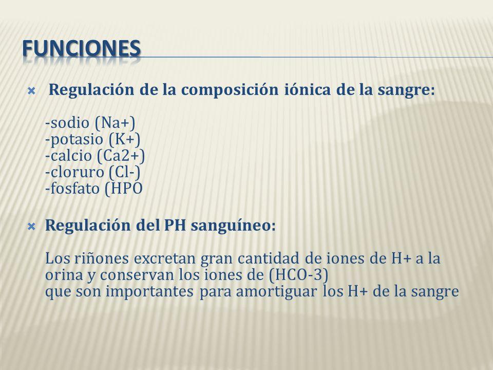 Funciones Regulación de la composición iónica de la sangre: -sodio (Na+) -potasio (K+) -calcio (Ca2+) -cloruro (Cl-) -fosfato (HPO