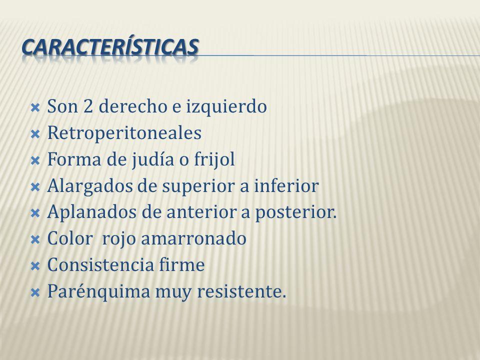 características Son 2 derecho e izquierdo Retroperitoneales